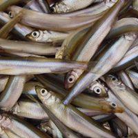 山中湖のワカサギ釣り、エサは紅さしより赤虫