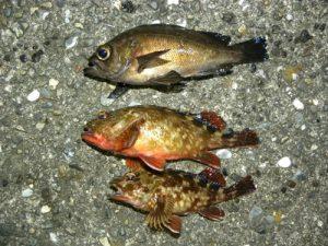 赤潮で、メバル、カサゴ、ソイを捕って食べる