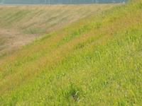 土手に生えている雑草を食べる