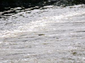 河川を上るときにジャンプするボラ